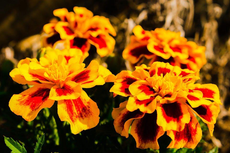 Cveće kadifa, preuzeto: Pixabay, autor: Michel